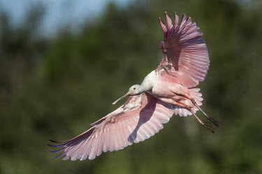 A bright pink roseate spoonbill comes in for a landing spoonbill,bird,birds,Roseate Spoonbill,bright,feathers,flare,flying,green,landing,movement,pink,red,shadow,sunny,white,wings,Roseate spoonbill,Platalea ajaja,Threskiornithidae,Ibises, Spoonbills,Aves,