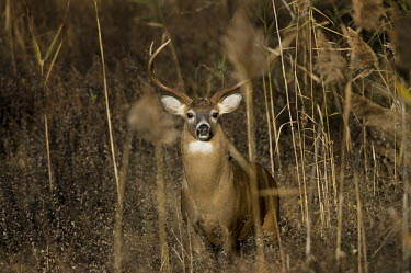 A very large whitetail buck looks at the camera from behind some tall brown reeds during the rut season antlers,brown,buck,deer,grasses,huge,male,reeds,rut,white,whitetail deer,White-tailed deer,Odocoileus virginianus,Mammalia,Mammals,Even-toed Ungulates,Artiodactyla,Cervidae,Deer,Chordates,Chordata,Toy
