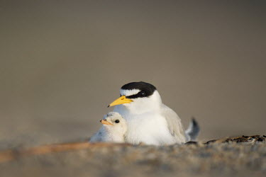 A least tern chick snuggles in close with its parent to stay safe on the open beach in the early morning sunlight least tern,tern,terns,adorable,adult,baby,beach,caring,chick,close,cute,orange,parent,sand,small,tiny,Sternula antillarum,BIRDS,Least Tern,animal,baby animal,baby bird,ground level,low angle,wildlife,