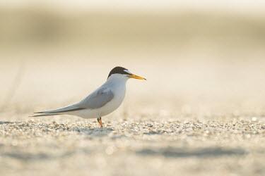 An adult least tern stands on a sandy beach on a bright sunny morning least tern,tern,terns,backlight,beach,brown,grey,sand,white,Sternula antillarum,BIRDS,Least Tern,animal,black,gray,low angle,wildlife,yellow