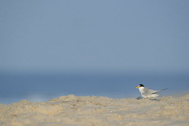 An adult least tern stands on a sandy beach on a bright sunny morning in front of a blue ocean and sky least tern,tern,terns,beach,brown,grey,sand,white,Sternula antillarum,BIRDS,Least Tern,animal,black,gray,low angle,wildlife,yellow