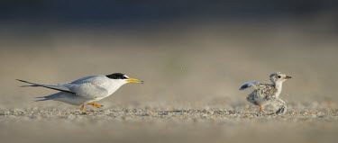 An adult least tern chases a chick that is not its own along the sandy beach in the early morning sunlight least tern,tern,terns,action,adult,attack,baby,beach,brown,chase,chick,fast,grey,orange,quick,running,sand,white,Sternula antillarum,BIRDS,Least Tern,animal,baby animal,baby bird,black,gray,ground lev
