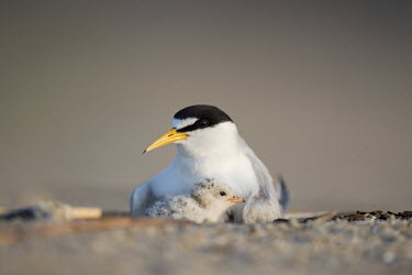 A least tern chick snuggles in close with its parent least tern,tern,terns,adorable,adult,baby,beach,bill,chick,pair,sand,small,tiny,Sternula antillarum,BIRDS,Least Tern,animal,baby animal,baby bird,ground level,low angle,wildlife,yellow