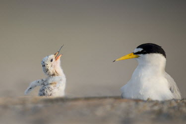 The tail end of a fish goes down the hatch of a tiny least tern chick as an adult watches on least tern,tern,terns,adult,baby,beach,chick,cute,eating,fish,grey,orange,sand,small,sunny,white,Sternula antillarum,BIRDS,Least Tern,animal,baby animal,baby bird,black,gray,ground level,low angle,wil