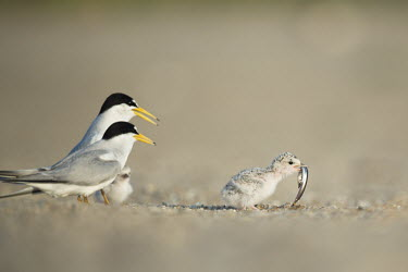 A small least tern chick turns away from its parents after grabbing a sand eel from them on a sandy beach least tern,tern,terns,adult,baby,beach,chick,cute,eating,fish,parents,sand,sunny,tiny,Sternula antillarum,BIRDS,Least Tern,animal,baby animal,baby bird,ground level,low angle,wildlife
