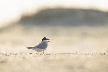 An adult least tern stands on a sandy beach calling loudly on a bright sunny morning least tern,tern,terns,backlight,beach,brown,grey,sand,white,Sternula antillarum,BIRDS,Least Tern,animal,black,gray,low angle,wildlife,yellow