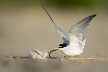 An adult least tern feeds its tiny chick a sand Eel on the sandy beach on a bright sunny morning least tern,tern,terns,adult,baby,beach,chick,cute,fish,flapping,green,morning,sand,sand eel,small,sunny,tiny,wings,Sternula antillarum,BIRDS,Least Tern,animal,baby animal,baby bird,ground level,low an