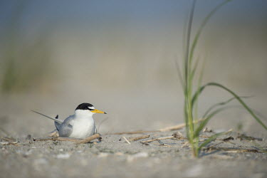 An adult least tern sits on a sandy beach on a bright sunny morning least tern,tern,terns,beach,brown,grass,grey,green,nest,sand,white,Sternula antillarum,BIRDS,Least Tern,animal,black,gray,low angle,wildlife,yellow