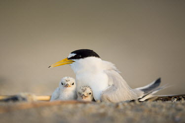 A pair of least tern chicks huddle in under their parent on the nest on a sandy beach early in the morning least tern,tern,terns,New Jersey,adult,baby,beach,chick,cute,early,fuzzy,morning,sand,small,tiny,white,young,Sternula antillarum,BIRDS,Least Tern,animal,baby animal,baby bird,black,ground level,low an