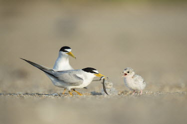 A parent least tern is feeding a sand eel to its young chick on a sunny morning on a sandy beach least tern,tern,terns,adult,baby,beach,chick,eating,family,feeding,fish,grey,sand,sunny,white,Sternula antillarum,BIRDS,Least Tern,animal,baby animal,baby bird,gray,ground level,low angle,wildlife,yel