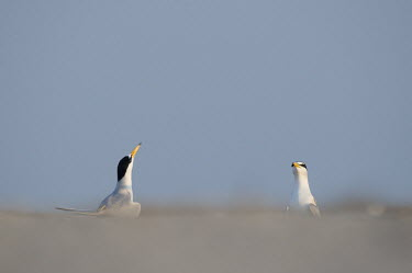 A pair of adult least terns throw their heads up in the air performing a courtship display on the beach least tern,tern,terns,beach,brown,courtship,grey,sand,white,Sternula antillarum,BIRDS,Least Tern,animal,black,gray,low angle,wildlife,yellow