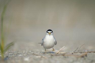 An adult least tern stands on a sandy beach on a bright sunny morning least tern,tern,terns,beach,brown,grass,grey,green,sand,white,Sternula antillarum,BIRDS,Least Tern,animal,black,gray,low angle,wildlife,yellow