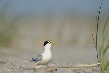An adult least tern stands on a sandy beach calling loudly on a bright sunny morning least tern,tern,terns,beach,brown,grass,grey,green,sand,white,Sternula antillarum,BIRDS,Least Tern,animal,black,gray,low angle,wildlife,yellow