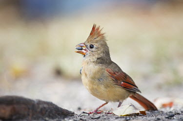 A female Northern cardinal holds a seed in its bill as it eats on the ground cardinal,bird,birds,brown,eating,feeding,female,ground,red,seed,soft light,Northern cardinal,Cardinalis cardinalis,Cardinalidae,Cardinals,Chordates,Chordata,Aves,Birds,Perching Birds,Passeriformes,Omn