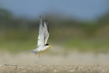 A male least tern takes off from the sandy beach with a small fish in its bill as the bright sunlight shines on blue Sky,least tern,tern,terns,action,beach,brown,fish,green,sand,shadow,sunny,take off,white,wings,Least tern,Sternula antillarum,BIRDS,Blue Sky,Least Tern,animal,black,takeoff,wildlife,yellow