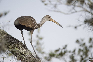 A limpkin perches in a tree on a sunny afternoon Animalia,Chordata,Aves,Gruiformes,Aramidae,Aramus guarauna,limpkin,bird,birds,wader,wetland,Spanish Moss,bark,bill,brown,grey,green,overcast,perched,soft light,sunny,tree,white,Limpkin,Florida,beak,gr