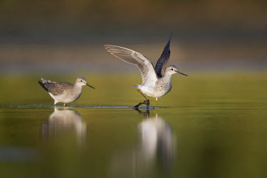 A pair of lesser yellowlegs chase each other around the shallows Lesser legs,bird,birds,wader,coastal,wetland,sandpiper,action,brown,early,flapping,green,morning,motion,movement,mud,pair,reflection,running,sunny,water level,white,wings,Lesser yellowlegs,Tringa flav