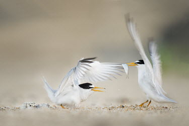 A pair of adult least terns flap their wings at each other least tern,tern,terns,action,adult,baby,beach,chick,early,eating,fish,flapping,green,interaction,morning,sand,white,wings,Sternula antillarum,BIRDS,Least Tern,animal,baby animal,baby bird,black,ground