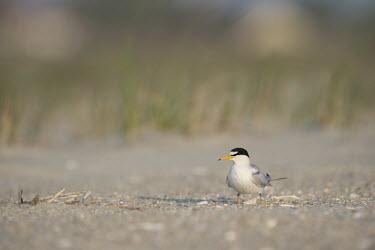 An adult least tern stands on a sandy beach on a bright sunny morning least tern,tern,terns,beach,brown,grey,sand,white,Sternula antillarum,BIRDS,Least Tern,animal,black,gray,low angle,wildlife,yellow