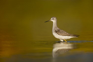 A lesser yellowlegs wades in the shallow water early in the morning Lesser legs,Portrait,bird,birds,wader,coastal,wetland,sandpiper,brown,close,detail,early,morning,red,reflection,sunny,tan,wading,walking,water,water level,white,Lesser yellowlegs,Tringa flavipes,Cicon