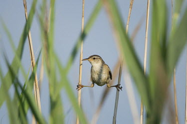A marsh Wren holds onto marsh grass performing a split blue Sky,Marsh Wren,wren,bird,birds,brown,funny,green,marsh,marsh grass,perched,split,sunny,white,Marsh wren,Cistothorus palustris,Perching Birds,Passeriformes,Wrens,Troglodytidae,Chordates,Chordata,A