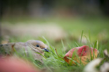 A mourning dove sits low in the grass trying to hide with brightly coloured leaves around it Mourning Dove,brown,eye,fall colours,grass,grey,green,ground,leaf,leaves,orange,red,dove,bird,birds,Zenaida macroura,Mourning dove,Pigeons, Doves,Columbidae,Pigeons and Doves,Columbiformes,Aves,Birds,