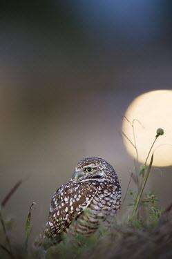 A Florida burrowing owl sits on the ground between some tall grass at dusk  A car headlight appears in the background owl,owls,predator,raptor,bird,birds,bird of prey,brown,dark,dusk,grass,ground,headlights,lights,night,white,Burrowing owl,Athene cunicularia,True Owls,Strigidae,Aves,Birds,Owls,Strigiformes,Chordates,