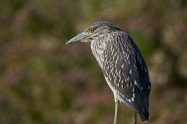 A juvenile black-crowned Night Heron perched in front of some purple and green out of focus flowers Black-Crowned Night Heron,bright,brown,close,eye,green,juvenile,orange,purple,sunny,white,heron,bird,birds,Black-crowned night-heron,Nycticorax nycticorax,Aves,Birds,Ciconiiformes,Herons Ibises Storks