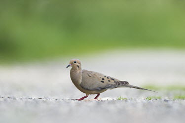 A mourning dove walks across a stone road with a smooth green background on an overcast day Mourning Dove,brown,grey,green,ground,overcast,red,road,smooth background,soft light,walking,dove,bird,birds,Zenaida macroura,Mourning dove,Pigeons, Doves,Columbidae,Pigeons and Doves,Columbiformes,Av