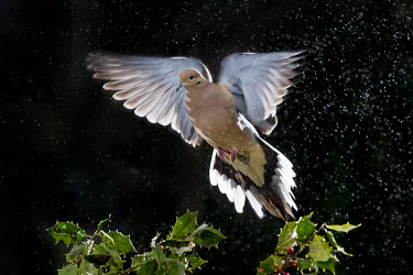 A mourning dove flies over a bunch of green holy against a black background in the rain Mourning Dove,backlight,bird feeder,brown,dramatic,feathers,flash,flying,grey,green,holly,holly landing,motion,motion blur,pink,rain,red,wings,dove,bird,birds,Zenaida macroura,Mourning dove,Pigeons, D