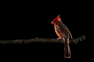 A bright red male Northern cardinal perches on a branch in front of a solid black background cardinal,bird,birds,bird feeder,dramatic,external flash,feeder,flash,male,off camera flash,perched,red,seeds,Northern cardinal,Cardinalis cardinalis,Cardinalidae,Cardinals,Chordates,Chordata,Aves,Bird