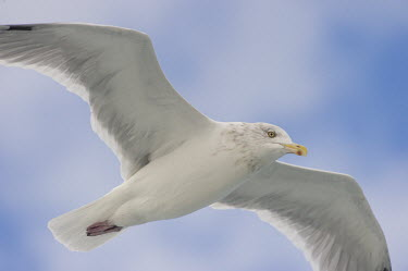 A herring gull flies overhead with a soft blue sky and cloudy background blue,blue Sky,Herring Gull,Pelagic,clouds,flying,overhead,soft light,white,wings,Herring gull,BIRDS,Blue,Blue Sky,animal,delaware,nature,wildlife,yellow