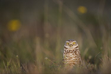 A Florida burrowing owl stands in an open field with a couple of yellow flowers in the background owl,owls,predator,raptor,bird,birds,bird of prey,brown,cute,evening,eyes,sunlight,white,Burrowing owl,Athene cunicularia,True Owls,Strigidae,Aves,Birds,Owls,Strigiformes,Chordates,Chordata,Speotyto cu