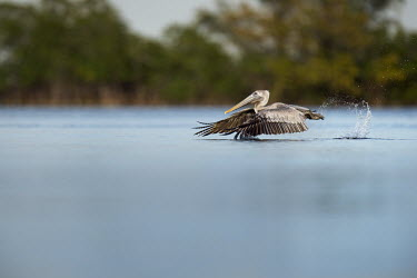 A juvenile brown pelican takes off out of the water creating a large splash behind it with its feet blue,Brown Pelican,pelican,birds,action,brown,feet,flying,green,juvenile,movement,orange,running,scenic,soft light,splash,take off,trees,water,water level,white,wings,Brown pelican,Pelecanus occidenta