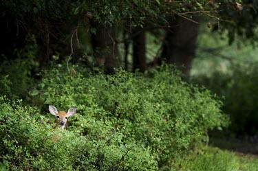 A small whitetail deer peeks out from behind some bright green bushes brown,bushes,deer,green,hiding,peeking,plants,whitetail deer,White-tailed deer,Odocoileus virginianus,Mammalia,Mammals,Even-toed Ungulates,Artiodactyla,Cervidae,Deer,Chordates,Chordata,Toy deer,Key de
