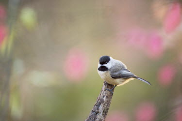 A small and cute Carolina chickadee sits perched on a log surrounded by out of focus red leaves as the sun shines from behind it Carolina Chickadee,chickadee,bird,birds,Animalia,Chordata,Aves,Passeriformes,Paridae,Poecile carolinensis,backlight,bark,brown,cute,green,grey,perched,pink,small,soft light,tiny,white,BIRDS,Branch,ani