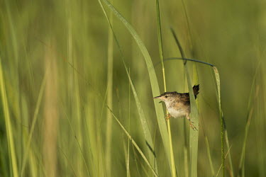 A tiny marsh Wren does a split on some marsh grass in the bright morning sun Marsh Wren,Thompson's Beach,wren,bird,birds,brown,funny,grass,green,marsh grass,perched,small,split,sunny,white,Cistothorus palustris,Perching Birds,Passeriformes,Wrens,Troglodytidae,Chordates,Chordat