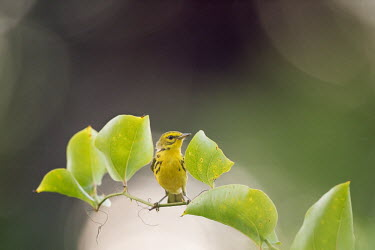 A black and yellow prairie warbler perches between two leaves on a vine Prairie Warbler,Vine,warbler,green,leaves,overcast,perched,soft light,thorns,Animalia,Chordata,Aves,Passeriformes,Parulidae,Setophaga discolour,bird,birds,Setophaga discolor,Animal,BIRDS,Branch,WARBLE