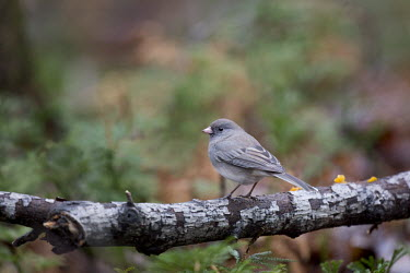 A dark-eyed Junco is perched on a textured branch in a forest with soft overcast lighting junco,birds,bird,bark,cute,grey,green,ground,overcast,perched,small,soft light,texture,tree,white,Dark-eyed junco,Junco hyemalis,Chordates,Chordata,Perching Birds,Passeriformes,Aves,Birds,Emberizidae,