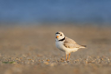 A cute adult piping plover stands on a sandy beach as the early morning sun shines on it plover,bird,birds,shorebird,Piping Plover,beach,brown,cute,early,grey,morning,ocean,orange,sand,small,standing,sunny,tan,tiny,water,white,Piping plover,Charadrius melodus,Aves,Birds,Charadriiformes,Sh