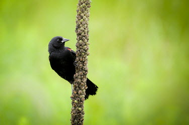 A male red-winged blackbird perches on a stalk of seeds Red-shouldered hawk,hawk,bird of prey,raptor,bird,birds,black,bright,clinging,colourful,feeding,green,male,overcast,perched,plant,red,seeds,soft light,stalk,Buteo lineatus,Falconiformes,Hawks Eagles F