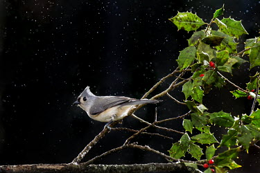 A tufted titmouse perched on a branch of holly against a black background in the rain Tufted Titmouse,berries,bird feeder,dramatic,flash,grey,green,perched,rain,white,Baeolophus bicolor,Tufted titmouse,Perching Birds,Passeriformes,Chickadees, Titmice,Paridae,Aves,Birds,Chordates,Chorda