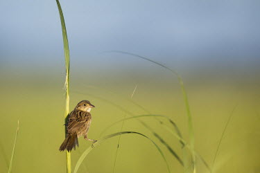 A seaside sparrow perches in a split pose and looks back over its shoulder blue Sky,Seaside Sparrow,bright,brown,grass,marsh grass,morning,perched,pose,smooth background,split,sunny,Animalia,Chordata,Aves,Passeriformes,Passerellidae,Ammospiza maritima,sparrow,bird,birds,Seas