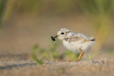 A cute, tiny and endangered piping plover chick holding a large fly in its bill plover,bird,birds,shorebird,Piping Plover,adorable,beach,brown,chick,cute,early,eating,fluffy,fly,grass,grey,green,insect,morning,orange,sand,sunny,tan,tiny,white,Piping plover,Charadrius melodus,Aves