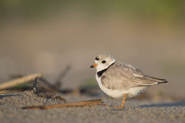 An endangered adult piping plover stands on a sandy beach on a bright sunny morning plover,bird,birds,shorebird,Piping Plover,beach,brown,early,grey,green,morning,orange,sand,sunny,tan,white,Piping plover,Charadrius melodus,Aves,Birds,Charadriiformes,Shorebirds and Terns,Charadriidae