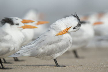 A royal tern stands on a sandy beach preening and cleaning its feathers with a flock of other terns around it tern,seabirds,bird,birds,gull,beach,cleaning,flock,grey,group,orange,preening,sand,sunny,white,Royal tern,Sterna maxima,Charadriiformes,Shorebirds and Terns,Laridae,Gulls, Terns,Chordates,Chordata,Ave