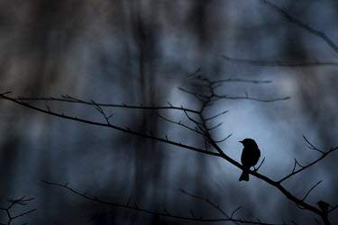 An Eastern phoebe is silhouetted against a blue sky while perched on a small branch blue,blue Sky,Eastern phoebe,Animalia,Chordata,Aves,Passeriformes,Tyrannidae,Sayornis phoebe silhouette,dark,moody,perched,shape,small,spring,tiny,Sayornis phoebe,BIRDS,Blue,Blue Sky,Branch,Eastern Ph