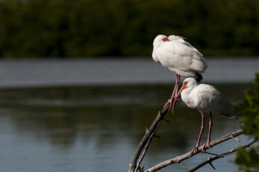 A pair of white ibis perch on branches on a bright sunny day ibis,bird,birds,White Ibis,bright,feathers,feet,green,legs,pair,perched,pink,red,sleeping,sunny,tucked,water,white,Eudocimus albus,White ibis,Chordates,Chordata,Ciconiiformes,Herons Ibises Storks and