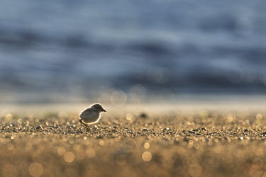 Just after sunrise a tiny piping plover chick walks along the beach as the sun lights up the sand plover,bird,birds,shorebird,Piping Plover,adorable,backlight,beach,bokeh,brown,chick,cute,early,morning,sand,small,sparkle,sunny,tan,tiny,Piping plover,Charadrius melodus,Aves,Birds,Charadriiformes,Sh