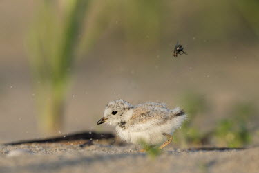 A tiny piping plover chick has tossed a fly into the air on the beach early on a sunny morning plover,bird,birds,shorebird,Piping Plover,action,beach,brown,chick,cute,fly,grass,green,insect,morning,sand,small,sunny,tan,tiny,white,Piping plover,Charadrius melodus,Aves,Birds,Charadriiformes,Shore